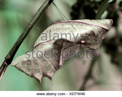 Papilionidae comune (Troides helena), pupa Foto Stock