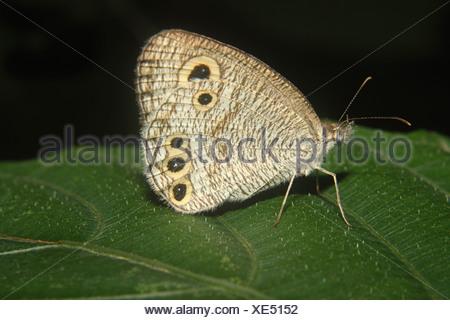 Comune Anello di quattro Butterfly (Ypthima huebneri) Foto Stock