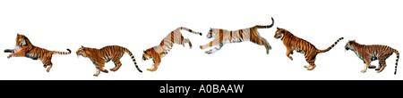 Tiger (Panthera tigris), la sequenza di movimento di un salto Foto Stock