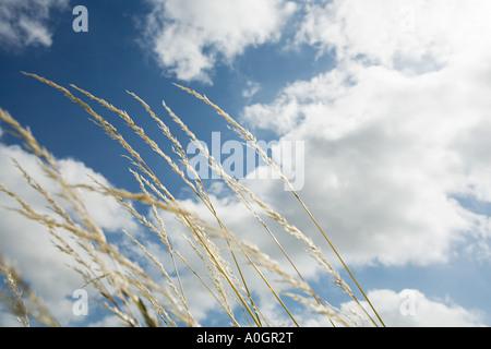 Erba soffiando nel vento Foto Stock