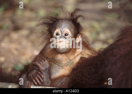 Baby orangutan Tanjung Putting Borneo Foto Stock