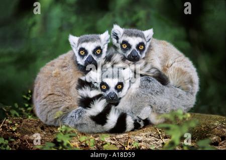 Anello Madagascan tailed lemuri Foto Stock