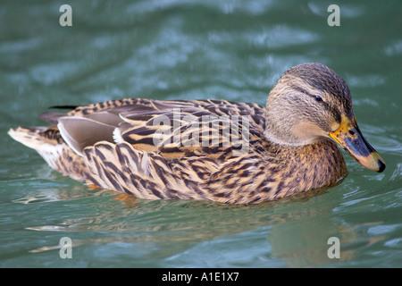 Mallard duck nel Fiume Windrush Burford Regno Unito sugli uccelli selvatici possono essere a rischio di influenza Foto Stock