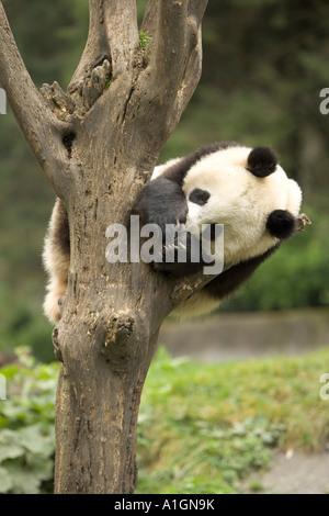 Panda gigante appollaiato su albero dormendo, Wolong Riserva Naturale, Wolong, Cina Foto Stock