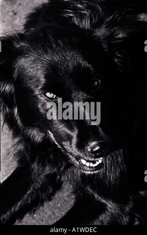 Sorridente cane nero Foto Stock