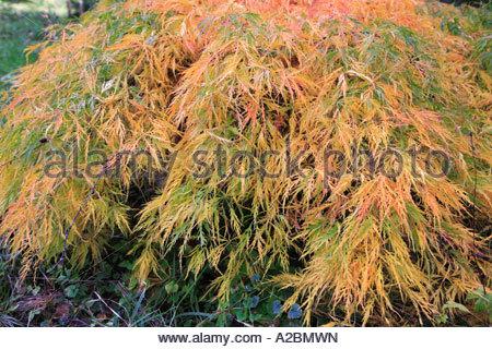 Acero giapponese. ACER PALMATUM dissectum flavescens