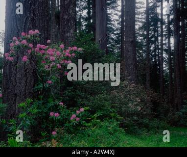 Wild rhododendrens bloom profusamente nelle nebbiose atmosfera del Parco Nazionale di Redwood in California