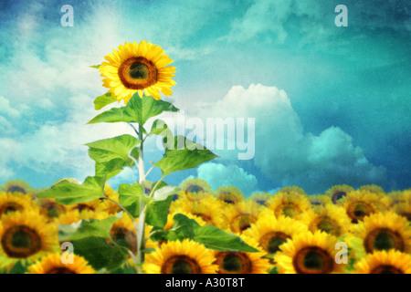 Concetto di immagine di un girasole alto in piedi fuori dal resto Foto Stock