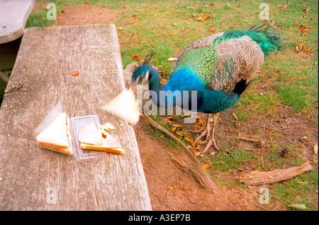 Un pavone afferra un sandwich. Foto Stock