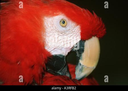 Scarlet Macaw Ara macao dettagli testa Caravelas Bahia Brasile Foto Stock