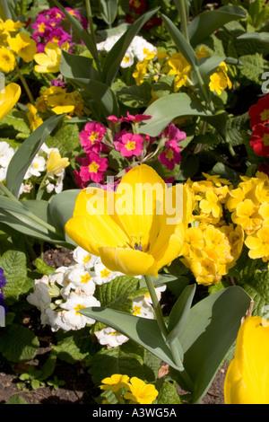 Tulip giallo purissima e Primula Crescendo mix Foto Stock