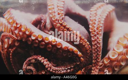 Polipo cotti in acqua in prossimità delle ventose Octopus Foto Stock
