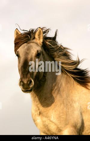 Cavallo di Konik Foto Stock