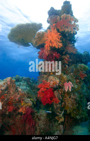 Testa di corallo che ospita una varietà di sani e morbidi coralli duri canale Ulong Palau Micronesia Foto Stock