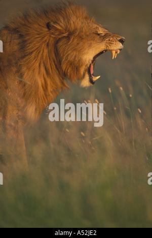 Kenia Masai Mara Game Reserve maschio adulto Lion Panthera leo bares denti mentre sbadigli in erba alta sulla savana Foto Stock