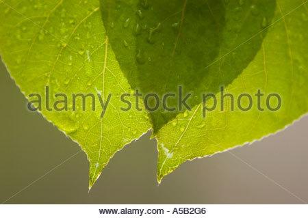 Tremore aspen (Populus tremuloides) gocce di pioggia sulle nuove foglie in primavera, Ontario Foto Stock