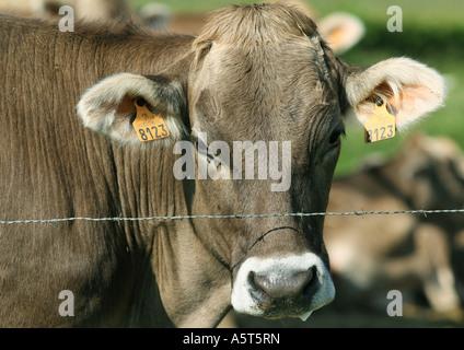 Brown mucca svizzera guardando oltre il recinto di filo spinato, close-up Foto Stock