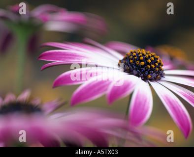 OSTEOSPERMUM SILVIA o africano Daisy differenzialmente focalizzata sul centro di rosa e fiore bianco con altri fiori Foto Stock