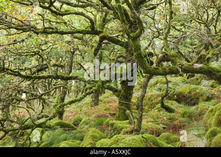 Legno Wistmans in estate un recedono bosco di querce nel Devon Regno Unito Foto Stock