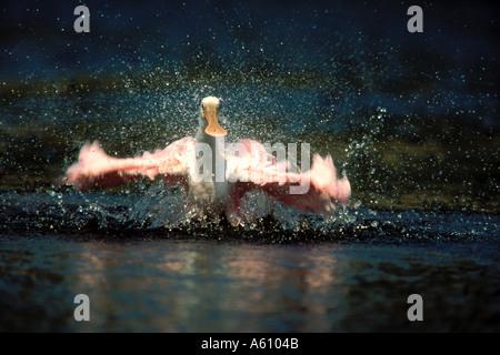 Roseate Spoonbill Stretching Ali Ding Darling FLORIDA Foto Stock
