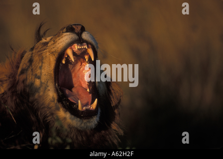 Kenia Masai Mara Game Reserve maschio Lion Panthera leo bares denti mentre sbadigli in erba alta sulla savana Foto Stock
