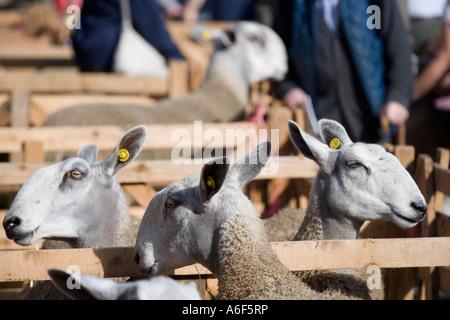 Di fronte blu Leicester pecore a Masham pecore Fair vicino a Ripon North Yorkshire Regno Unito il Jacob è altamente commerciabile come riproduttori