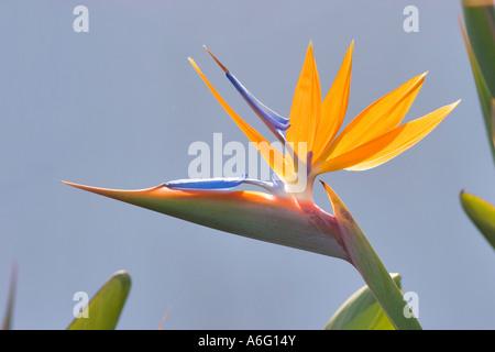 Uccello del paradiso La Palma Canarie Spagna nuova conversione RAW Foto Stock
