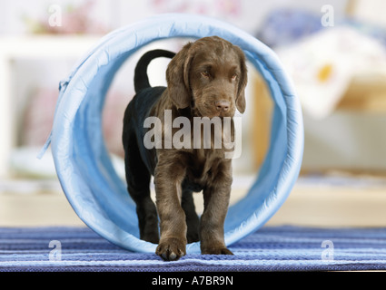 Agilità : Appartamento rivestite Retriever cucciolo nel tunnel Foto Stock