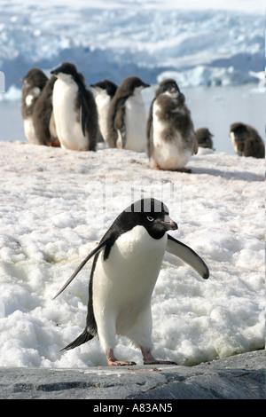 I pinguini di Gentoo su Isola Peterman,Antartico peninsulare. Foto Stock