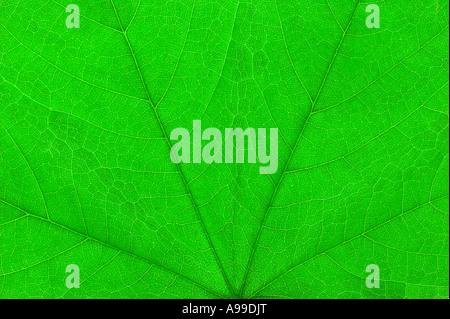 Macro dettagliata colpo di una foglia verde Foto Stock