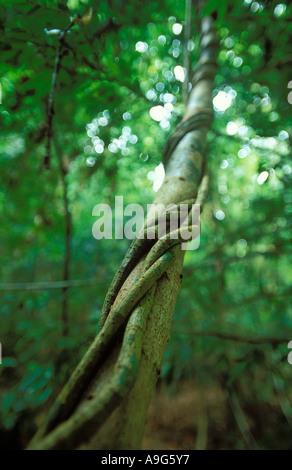 La foresta pluviale primaria Langkawi Malaysia Foto Stock