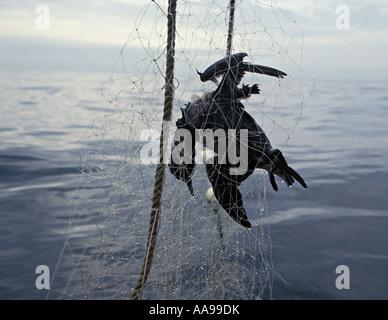 Gm436. Dead sea bird, comune Mure (Uria aagle), ucciso da impigliamento in gill net. Oceano Pacifico. Foto Copyright Foto Stock