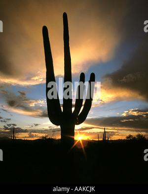 Cactus Saguaro stagliano contro il sole di setting Parco nazionale del Saguaro, Tucson in Arizona Foto Stock