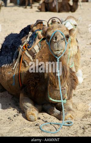 Sellati Cammello Dromedario seduto sulla sabbia nel deserto del Sahara a Douz Tunisia Foto Stock