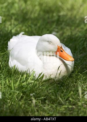 Un anatra bianco addormentato sull'erba. Foto Stock