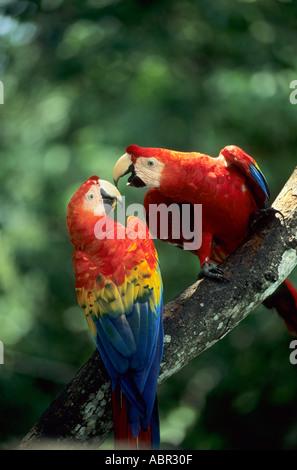 Foresta amazzonica del Brasile. Due rosso, giallo e blu macaws (Ara macao) appollaiato su un ramo. Foto Stock