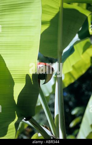 Il Brasile. Scarlet Macaw (Ara macao) Il peering round una foglia di banano in condizioni di luce solare intensa. Foto Stock