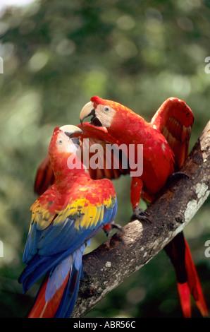 L'Amazzonia, Brasile. Coppia di Scarlet Macaws (Ara macao) su un ramo. Foto Stock