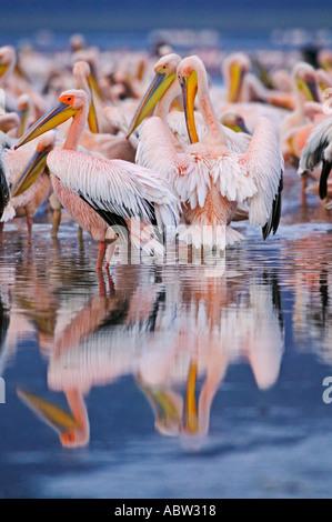 Pellicano Pelecanus onocrotalus appoggio e preening sulla riva del lago Lake Nakuru National Park in Kenya Foto Stock