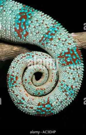 Panther Chameleon (Furcifer pardalis) avvolto la coda del maschio nella riproduzione dei colori, Ankarana, OCCIDENTALE Foto Stock
