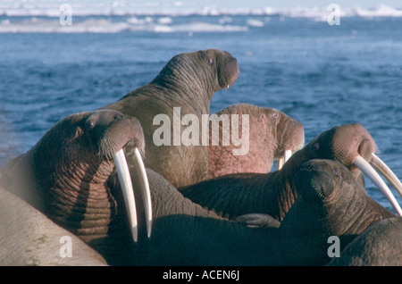 Atlantic trichechi Odobenus baffin Foto Stock