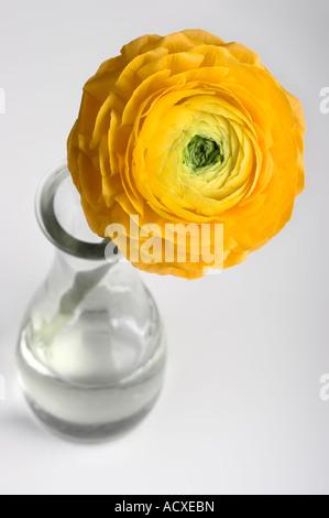 Giovani di gerbera gialla in un vaso.