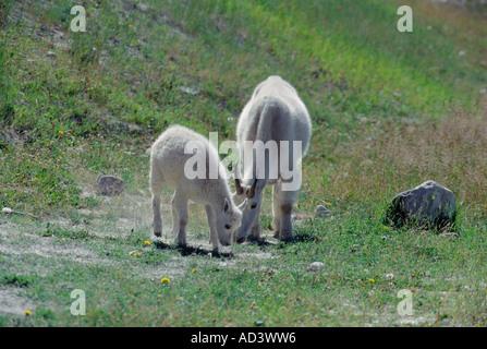Capre di montagna madre e bambino leccare il sale da minerali di leccare a inizio estate del Parco Nazionale di Foto Stock