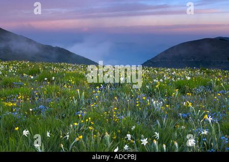 Fiori selvatici che crescono all'Forca Canapine Parco Nazionale dei Monti Sibillini Umbria Italia NR Foto Stock