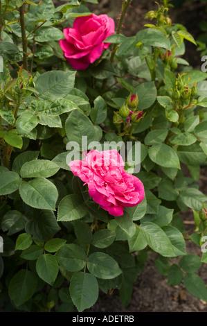 Fiore rosso di Rosa Rosaceae Rosa x bifera remontanty MME Victor Verdier Francia 1863