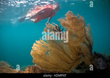 Un snorkeler viste una grande gorgonia in acque poco profonde di Raja Ampat, Indonesia. Foto Stock