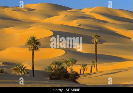 Data palm (Phoenix dactylifera), gruppo di palme tra le dune di sabbia e dune parabolica, Libia, erg Ubari, Um el Ma, Libia, erg uba Foto Stock