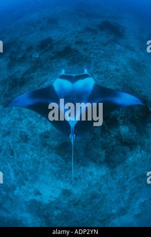 Una grande Manta ray, Manta birostris, scivola verso una stazione di pulizia su una scogliera in Palau. Foto Stock