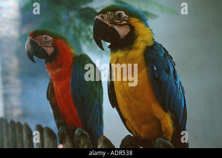 Scarlet e blu e giallo pappagalli ara macao e Ara ararauna Bonito Mato Grosso do Sul in Brasile Foto Stock