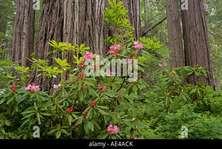 Rododendri e giganteschi alberi di sequoia nella prateria Creek sezione del Parco Nazionale di Redwood vicino a Crescent City California